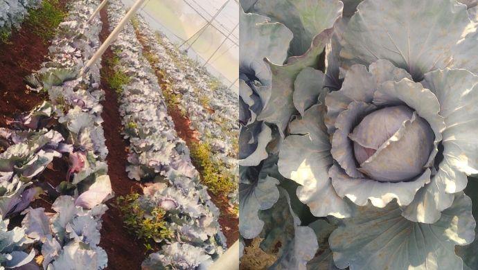 Organic Cabbages