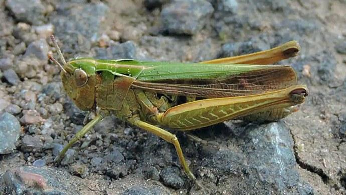 While India Battles Coronavirus, Desert Locust Attack Threatens Food Security