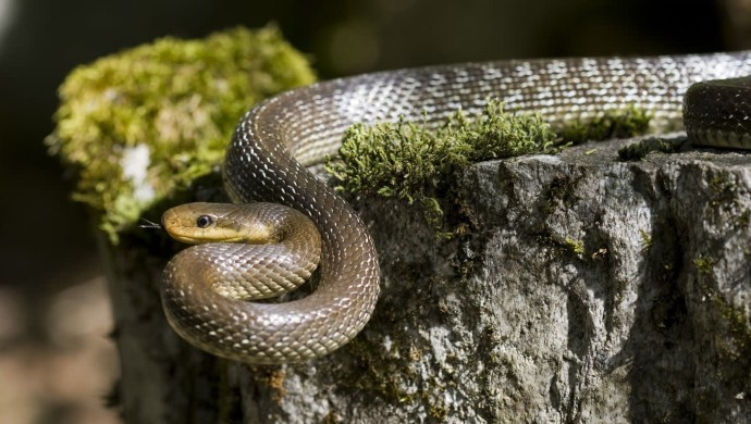 Six-Foot Long Rat Snake Found In Agra's COVID-19 Quarantine Centre