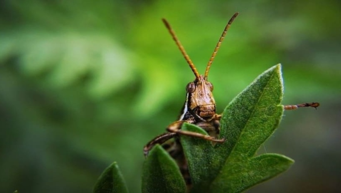 Locust Attack: Storm Reaches Gonda in Uttar Pradesh, Several Villages Affected