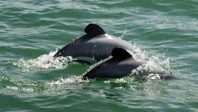 Rare River Dolphin Caught By Fishermen In Muzaffarnagar