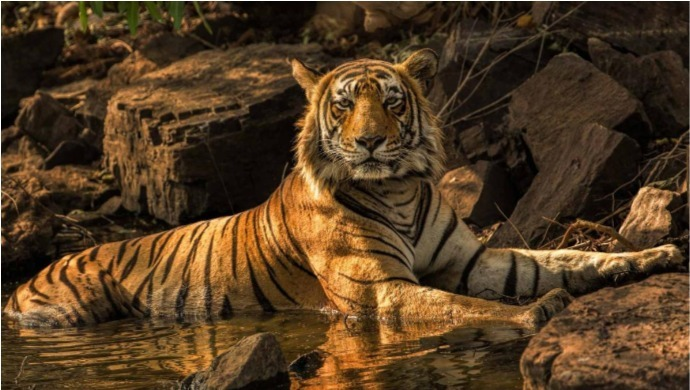 International Tiger Day: Number Of Tigers In India Doubled In The Last 12 Years