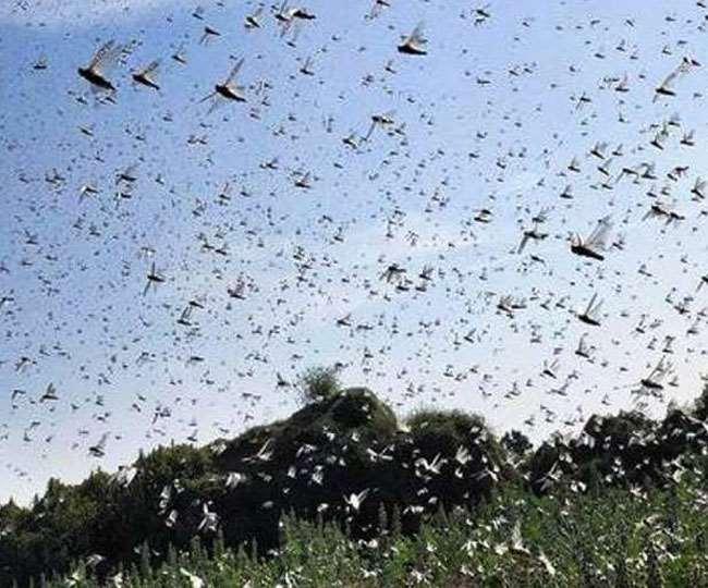 Locusts Attack: टिड्डियों से युद्धस्तर पर निपट रही सरकार, भारत को इस महीने सतर्क रहने की सलाह