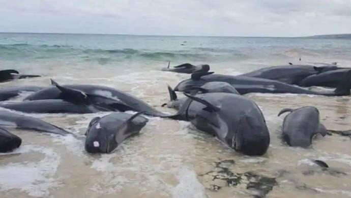 Australia: 90 Whales Killed After Getting Stranded Near Tasmania