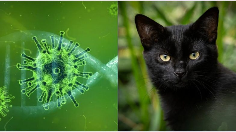 Does Cat Que Virus Spread Through Cats? Know Symptoms, Causes and If CQV Has Anything to Do With Feline Animal