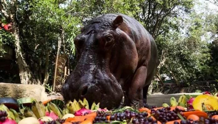 Thailand's Oldest Hippopotamus Celebrates 55th Birthday In Zoo