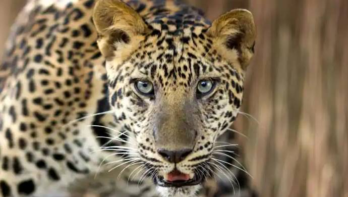 Watch: Cow Snatches Calf From Leopard's Clutches