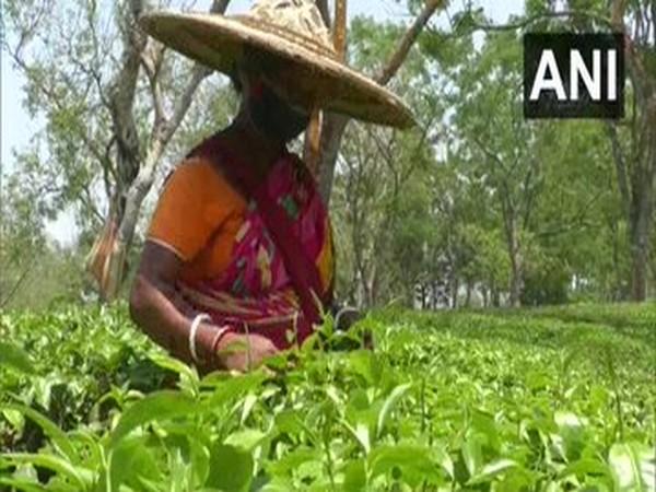 Nepali tea gets higher price in Indian market post lockdown